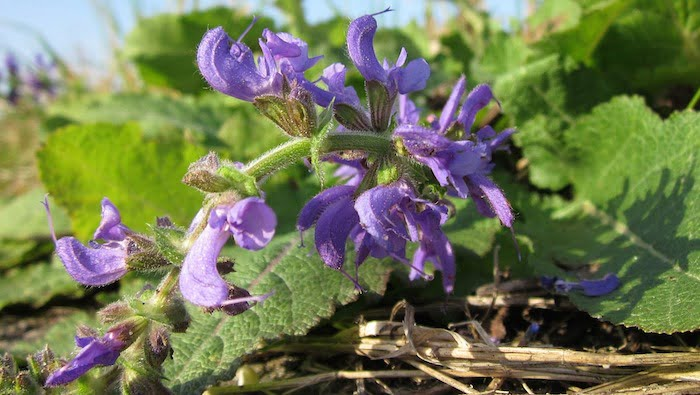 Birthzang's Guide to using Clary Sage Oil in Labour