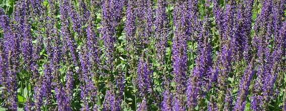 Guide to using Clary Sage Oil in Labour